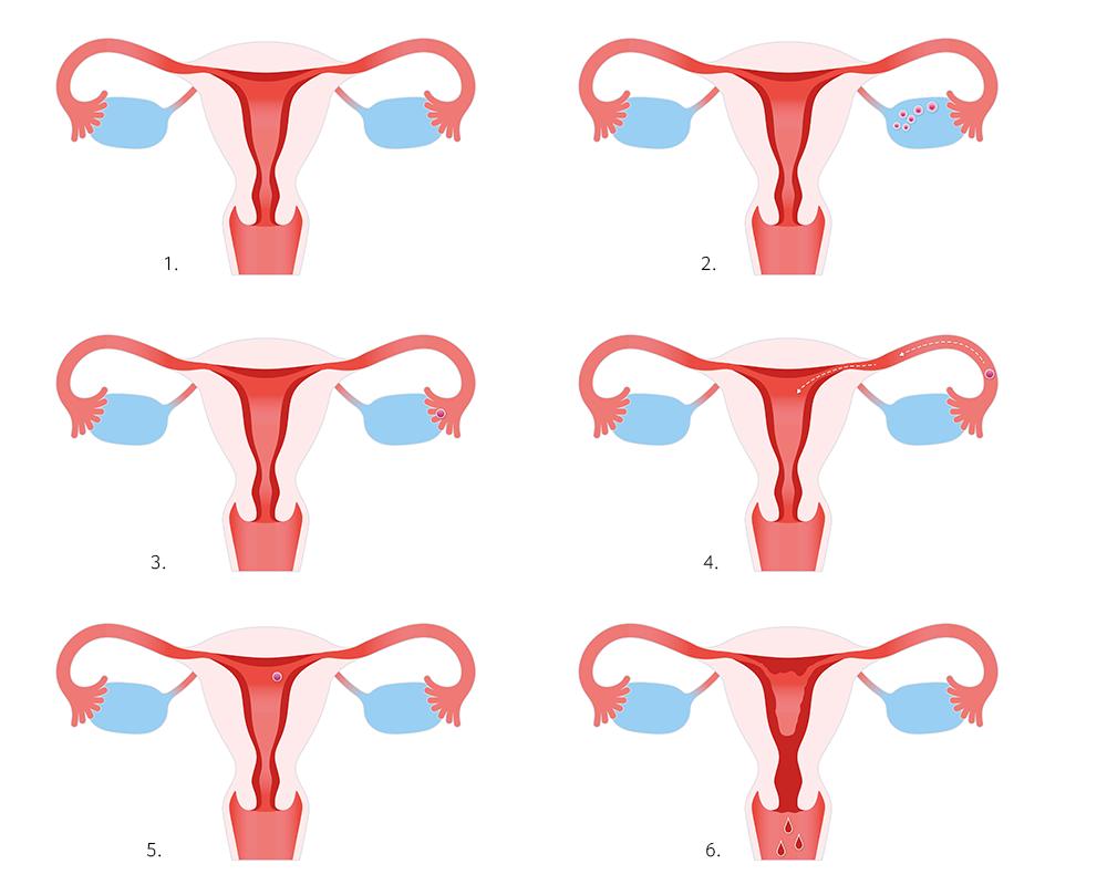 Frau zyklus regel Menstruationszyklus